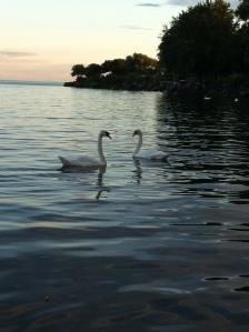 Casal de Cisnes por do sol
